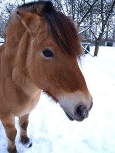 Fjuri- Mein kleines Fjordpferd